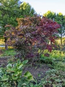 Here is one of many Japanese maple trees at my farm and one of the two I planted in 2019 after taking down six large evergreens from this area.