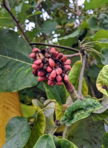 These are the seeds of the magnolia tree. In the fall after the flowers are long gone, Magnolia seed pods, which resemble exotic-looking cones, spread open to reveal bright red berries. Birds, squirrels, and other wildlife love these tasty fruits. Inside the berries are the magnolia seeds.