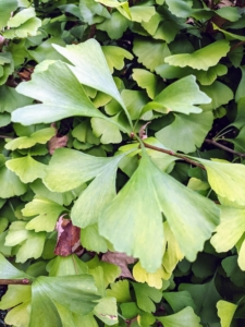 I am sure many of you recognize the leaves of the ginkgo. The leaves are unusually fan-shaped, up to three inches long, with a petiole that is also up to three inches long. This shape and the elongated petiole cause the foliage to flutter in the slightest breeze.
