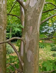Stewartias feature stunning bark that exfoliates in strips of gray, orange, and reddish brown once the trunk attains a diameter of two to three inches.