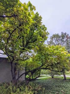 Catalpa, Catalpa speciosa, is another tree I love - this one located just outside my carport. Mature catalpas can reach heights of 50 feet or more. They are very showy with their white orchid-like flowers in June, huge leaves, and cigar-shaped fruit.