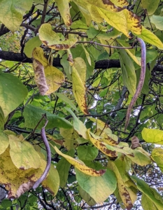 In autumn, mature catalpa seed pods turn brown and often hang on the tree through late fall and into winter.