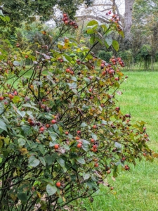 And here is a rose bush laden with hips. The rose hip or rosehip, is also called the rose haw and rose hep.