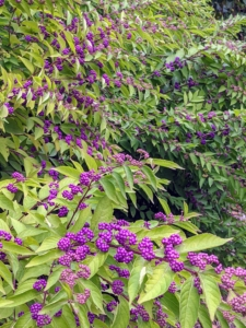 These shrubs are outside my guest guest house and show off beautiful color this time of year. The fruits become a good food source for many different birds, including mockingbirds, robins, and brown thrashers.
