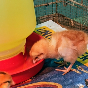 Usually after one chick finds the water source, the others will follow. Chicks are very thirsty after their day of travel.