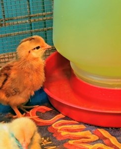As soon as they're in the brooder, each chick is also introduced to the waterer and feeder, so they know where to eat and drink. They are all familiar with waterers and feeders, but it is still a good practice to show them when they're moved to new surroundings.