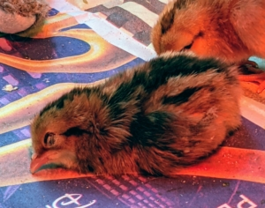 And this one is already sleeping - it's been a long day for these babies. I am so happy with this group of chicks – they are all strong good eaters, and will be great additions to my flock.