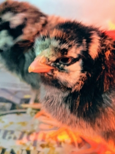The chicks are very eager to explore their new surroundings – a sign of good health.