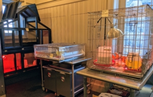 Each breed is kept in a separate brooder lined with newspapers, and equipped with feeders readied with chick starter. The waterers are all filled, and the heat lamps are on. The temperature should be 90 to 95 degrees for the first week.