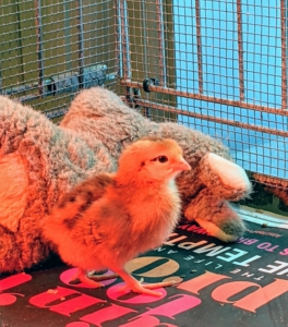 It's amazing how fast the chicks adapt to their home as they dart about so quickly. We also include a toy in each brooder - the chicks love to peck at these toys and roost on them.
