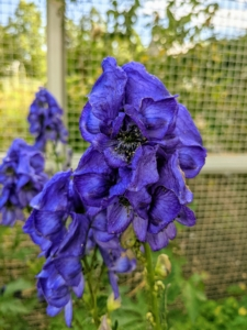 This is Aconitum, also known as aconite, monkshood, wolf's-bane, leopard's bane, mousebane, women's bane, devil's helmet, queen of poisons, or blue rocket. Aconitum is a genus of over 250 species of flowering plants belonging to the family Ranunculaceae. The plant gets its name from the shape of the posterior sepal of the flowers, which resembles the cowls worn by monks.