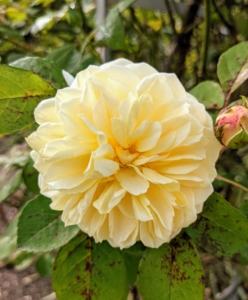 I have many roses at my farm. Here is a creamy yellow rose growing in my flower cutting garden. In the last few years, I've added to my collection – David Austin roses and various varieties from Northland Rosarium. A rose is a woody perennial flowering plant of the genus Rosa, in the family Rosaceae. There are more than a hundred species and thousands of cultivars.