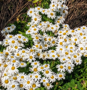 Even in mid-October, there is still a lot to appreciate in the gardens. Often called Montauk Daisy, the Nippon Daisy is prized for its late-in-the-season explosion of perky, white flowers. This easy-care plant grows 24 to 36 inches tall, and thrives in full sun and well-drained soil.