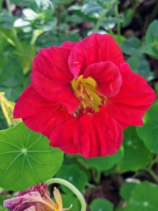 This is a Nasturtium. Nasturtium plants, Tropaeolum, are loved for their rich, saturated, jewel-toned colors. Planted in the spring after the threat of frost has passed, they are fast and easy to grow. Nasturtium is a genus of about 80 species of annual and perennial herbaceous flowering plants. It was named by Carl Linnaeus in his book Species Plantarum, and is the only genus in the family Tropaeolaceae.