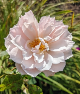 And here is a soft pink rose. Roses come in many different colors, such as pink, peach, white, red, magenta, yellow, copper, vermilion, purple, and apricot.