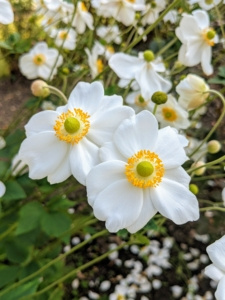 The anemones are also holding strong. Anemone is a genus of flowering plants in the buttercup family Ranunculaceae. Most anemone flowers have a simple, daisy-like shape and lobed foliage that sway in the lightest breezes.