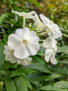 When in bloom, phlox are covered with groups of small, sweet-smelling, star-shaped flowers from clean white to pale pastel, including pink, red, lavender, and purple.