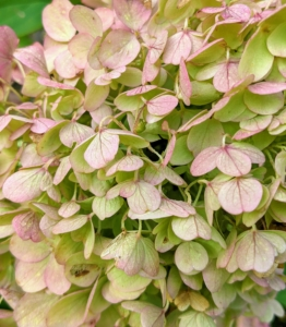 These hydrangeas have a tinge of pink. Many hydrangeas bloom from late spring to early summer, but the blooms stay on the plant until winter's chill topples them.