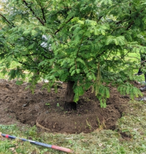 """Finally, the hole is completely backfilled and the soil tamped down to remove any air pockets. And remember, never plant a tree too deeply – leave it """"bare to the flare."""""""