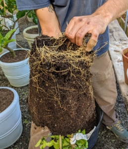 Brian uses his hands to rough up the bottom and scarify the root ball. This stimulates root growth.