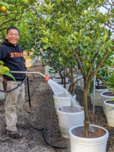 Next, Phurba waters all the plants thoroughly. The tall citrus trees are placed on the gravel floor while smaller specimens fit on a long wooden shelf.
