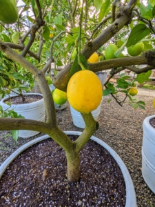 And here is a Meyer lemon tree - I have enough to provide all the lemons I need. I can't recall the last time I bought a lemon. Citrus × meyeri, the Meyer lemon, is a hybrid citrus fruit native to China. It is a cross between a citron and a mandarin/pomelo hybrid distinct from the common or bitter lemon.