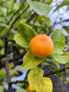 Here is another citrus tree – Calamondin, Citrus mitis, an acid citrus fruit originating in China.