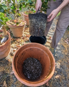 When repotting, be sure to select a container that is at least one size larger than the old pot. This camellia root ball is in good condition.