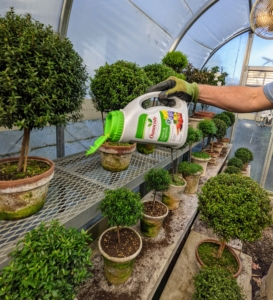 Here, Ryan feeds all the topiaries Osmocote fertilizer – small, round coated prills filled with nutrients. Buy some at my retail shop Martha.com.