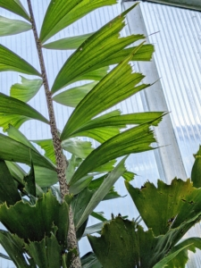 Here's a closer look at the leaves - shaped like a jagged fish's tail, which form thick, swirled layers of ruffled fronds.