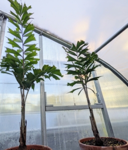 Another interesting plant in this greenhouse is the fishtail palm. Caryota is a genus of palm trees known as fishtail palms because of the shape of their leaves. There are about 13 species native to Asia, northern Australia, and the South Pacific.