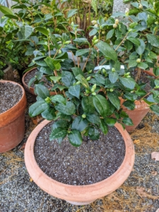 These camellias will all be kept in my tropical greenhouse for the cold season, where they can be closely monitored. When selecting a spot for a potted camellia, be sure it gets partial shade and protection from hot afternoon sunlight, as container-grown camellias dry out much faster than shrubs planted in the ground. Also water the plant deeply whenever the top two to four inches of potting mix feels dry to the touch and let it drain completely.