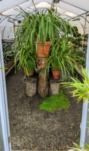 I am so glad I am fortunate enough to have several greenhouses for all my well-loved tropical specimens. What are you doing to prepare your potted plants for the cold weather? Please share your comments in the section below.