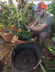 Brian adjusts the plant in the container, so it sits at the same depth as it did in its original pot. When keeping potted camellias, they will require repotting every two or three years as they outgrow their vessels.
