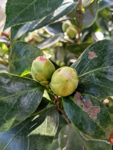 Buds start to form in mid-summer and then open from fall through early spring.
